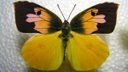 California's state insect- Dogface Butterfly Life Cycle Documentary Cat.#V03400, 1280x720 Windows Media .WMV, 249 sec. at 30fps